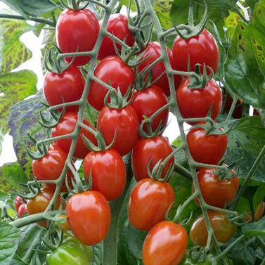 Roma Cherry Tomato