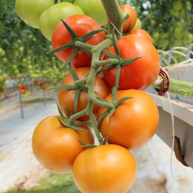 Truss Tomato